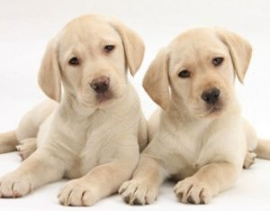 2 Effective Ways to Breed Your Pooch